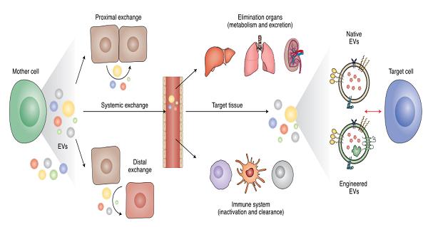 细胞外囊泡——下一代药物递送平台